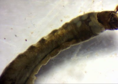 Fig 3. Blackfly larvae showing the feeding fans on its head that grab bits of food from the water.