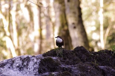 Dipper on a rock