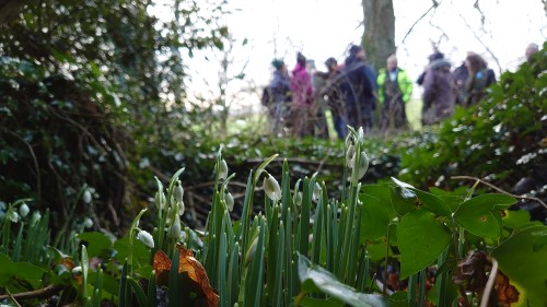 Snowdrops growing in the woodland